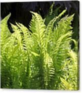 Spring Fern Fronds Canvas Print