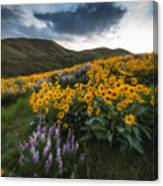 Balsamroot Explosion In Boise Idaho Usa Canvas Print