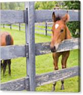 Spring Foal Canvas Print