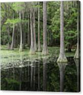 Spring Green In Cypress Swamp Canvas Print