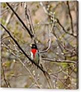 Spring Grosbeak Canvas Print