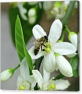 Spring Honey Bee Pollinates Orange Citrus Flower Canvas Print