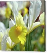 Spring Irises Flowers Art Prints Canvas Yellow White Iris Flowers Canvas Print