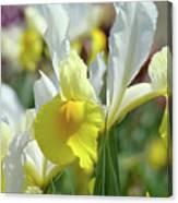 Spring Irises Flowers Art Prints Canvas Yellow White Iris Flowers Canvas Print