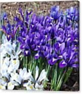 Spring Japanese Iris Canvas Print
