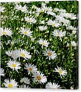 Spring Loyal Love Daisies  Canvas Print