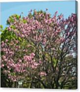 Spring Magnolia In Winter Park  Canvas Print