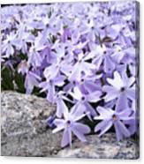 Spring Phlox Canvas Print