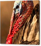 Spring Portrait Of Wild Turkey Tom Canvas Print