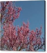 Spring Redbud Tree Canvas Print