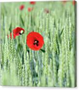 Spring Scene Green Wheat And Poppy Flowers Canvas Print