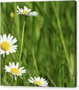 Spring Scene White Wild Flowers Canvas Print