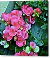 Spring Show 17 Begonias And Roses Canvas Print