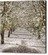 Spring Snow Canvas Print