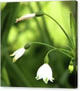 Spring Snowdrops Canvas Print