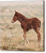 Spring Storm Foal Canvas Print