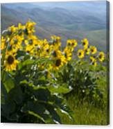 Spring Sunflowers Canvas Print