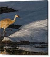 Spring Sunset With Sandhill Crane Canvas Print