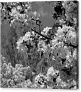 Spring Trees - B And W Canvas Print