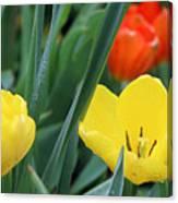 Spring Tulips 144 Canvas Print