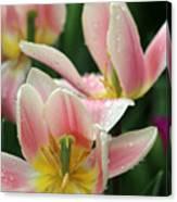 Spring Tulips 152 Canvas Print