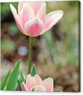 Spring Tulips 160 Canvas Print