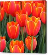 Spring Tulips 210 Canvas Print