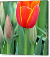 Spring Tulips 211 Canvas Print