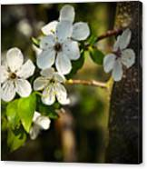 Spring Twig With White Florets Canvas Print
