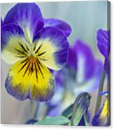 Spring Violas Canvas Print