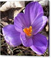 Spring Violet Canvas Print