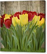 Spring Yellow And Red Tulips Canvas Print
