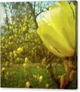 Spring. Yellow Magnolia Flower Canvas Print