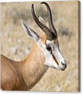 Springbok Canvas Print