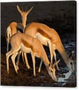 Springboks Drinking Canvas Print