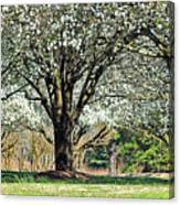 Spring's Canopy Canvas Print