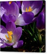 Springs First Flowers Canvas Print