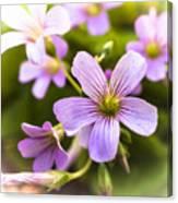 Springtime Blooms Violet Wood Sorrel 3 Canvas Print