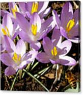 Springtime Crocuses  Canvas Print