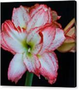 Springtime Florida Amaryllis Canvas Print
