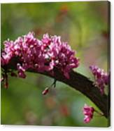 Springtime Forest Pansy Redbud Branch Canvas Print
