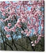 Springtime Seasonal Pink Blossom Flowers Baslee Canvas Print