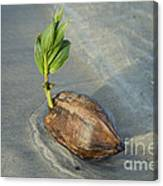 Sprouting Coconut Canvas Print
