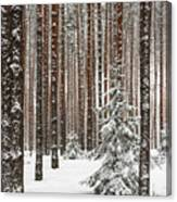 Spruce Among The Pines Canvas Print