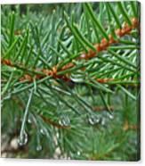 Spruce Drops Canvas Print
