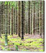 Spruce Forest Canvas Print