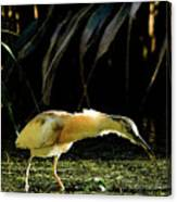 Squacco Heron On The Look Out For Fish Canvas Print