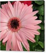Square Framed Pink Daisy Canvas Print