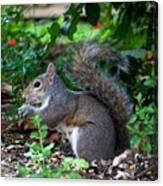 Squirrel IIi Canvas Print