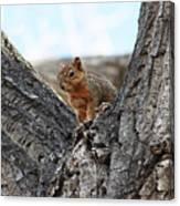 Squirrel In Cottonwood Tree Canvas Print
